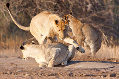 Lion siblings play fighting Stock Photography