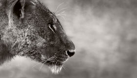 Lion side view. Side portrait of a wild lioness Stock Photo