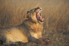 Lion on side yawning. Lion lying on its side yawning Royalty Free Stock Photo