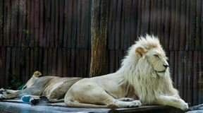 Lion siesta. Lions pair resting on the sun Royalty Free Stock Images