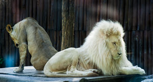 Lion siesta2. Male and female lions resting Stock Image