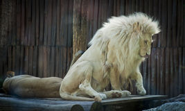 Lion siesta3. Male lion waking up from the siesta Stock Images