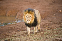 Lion Sighting Royalty Free Stock Photo