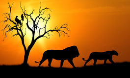 Lion silhouette. Silhouette of african male and female lion against orange dusk dawn sun with tree and vultures Royalty Free Stock Photography