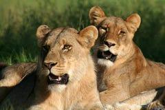 Lion sisters, Okavango, Botswana Royalty Free Stock Image