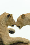 Lion sisters Pair Royalty Free Stock Photo