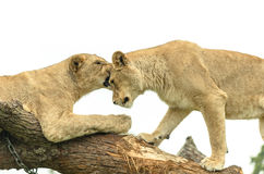 Lion sisters Pair Stock Image