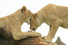 Lion sisters Pair Royalty Free Stock Photography