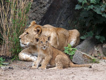 Lion sisters Royalty Free Stock Photo