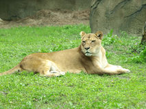 Lion sit on grass Royalty Free Stock Photo
