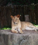 Lion sit on the stone Stock Photography