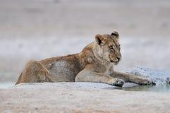 Lion sit on a waterhole, etosha nationalpark, namibia Royalty Free Stock Photos