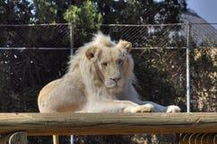 Lion Sits Atop masculino branco uma borda e uma câmera dos relógios Foto de Stock