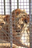 The lion sits in a cage and sad look. Through the bars royalty free stock image