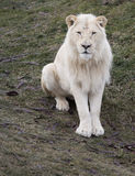 Lion Sitting blanc Photo libre de droits