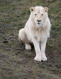 Lion Sitting blanco Foto de archivo libre de regalías