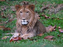 Lion Sitting Calmly Playing With The Leaves Closeup. Royalty Free Stock Photos