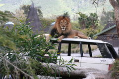 Lion sitting on a car royalty free stock image