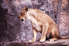 Lion Sitting em uma rocha fotografia de stock royalty free
