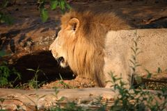 Lion Sitting em uma rocha imagens de stock