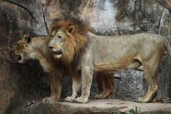 Lion Sitting em uma rocha imagem de stock
