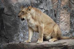 Lion Sitting em uma rocha foto de stock royalty free