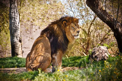 Lion Sitting in the Forest Royalty Free Stock Images
