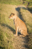 Lion sitting on grassy track at sunset Royalty Free Stock Image