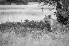Lion sitting in the high grass in black and white. Royalty Free Stock Images