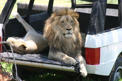 Lion sitting inside of a jeep in the wild. Stock Photo