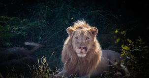Lion sitting majestically in jungle. Male adult lion sitting majestically in the bush in luangwa game park royalty free stock photo