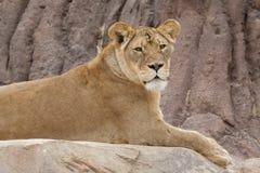 Lion Sitting on a Rock - Denver Zoo Animal. Denver Zoo Animal - Female Lion Perched on a Rock stock image