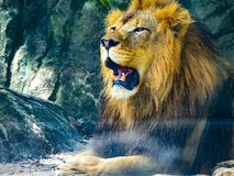 Lion sitting on rocks roaring. Lion sitting on rocks in the habitat roaring showing off its incisors royalty free stock images