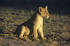 Lion sitting on savannah Stock Photos