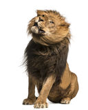 Lion sitting, shaking, Panthera Leo, 10 years old Royalty Free Stock Images