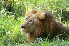 Lion sitting in the shrubs stock photos