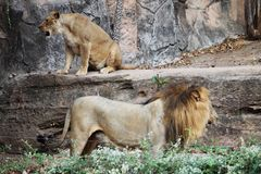 Lion Sitting sur une roche photos stock