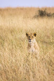 Lion sitting in tall grass. Single male lions sitting in the tall grass of the plains in Africa Stock Images