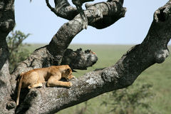Lion sitting in Tree - Serengeti, Africa Royalty Free Stock Photography