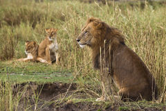 Lion sitting and two lionesses in the background Royalty Free Stock Photography