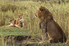 Lion sitting and two lionesses in the background Royalty Free Stock Photo