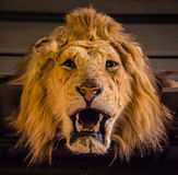 Lion Skin anziano fotografia stock