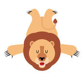 Lion skin carpet trophy Hunter . African leo predator. F Stock Image