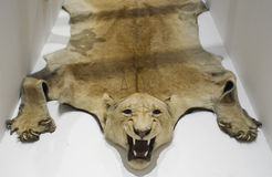 Lion skin. Lioness taxidermy skin in museum Royalty Free Stock Images