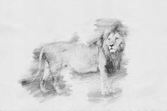 lion Skissa med blyertspennan Arkivfoton