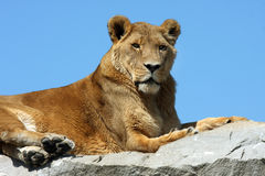 Lion In The Sky. African Lion laying on rock formation with clear blue sky in the background Royalty Free Stock Photography