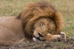 Lion sleep Royalty Free Stock Photos