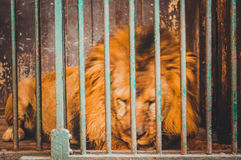 lion sleep in cage Stock Image
