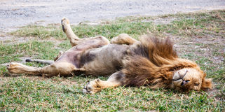 Lion sleep. On the yard Royalty Free Stock Image