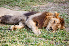 Lion sleep Royalty Free Stock Photo